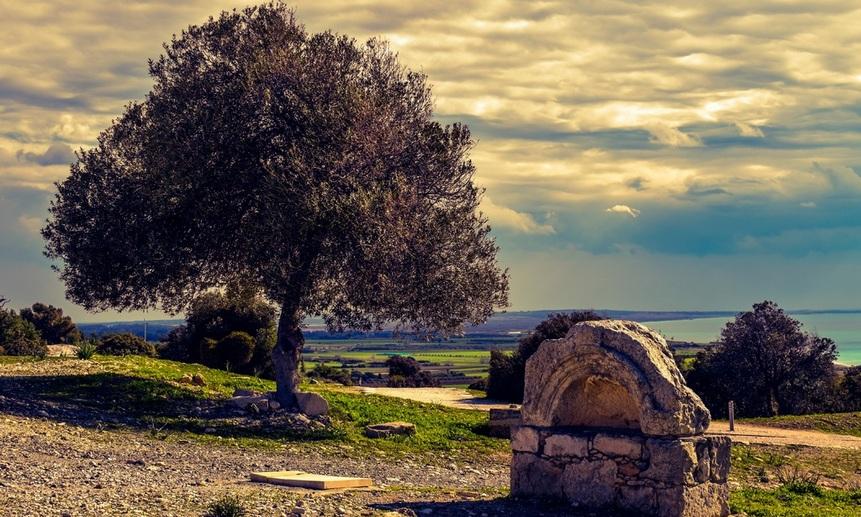 Смертельная бактерия поражает оливковые сады по всей Европе.